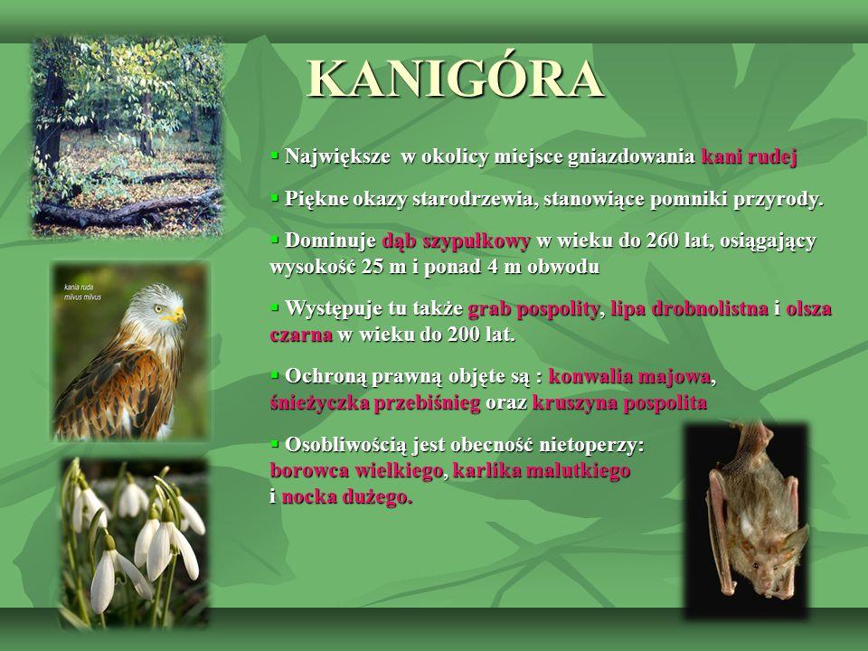 KANIGÓRA  Największe w okolicy miejsce gniazdowania kani rudej  Piękne okazy starodrzewia, stanowiące pomniki przyrody.  Dominuje dąb szypułkowy w