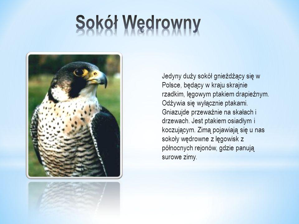 Jedyny duży sokół gnieżdżący się w Polsce, będący w kraju skrajnie rzadkim, lęgowym ptakiem drapieżnym.