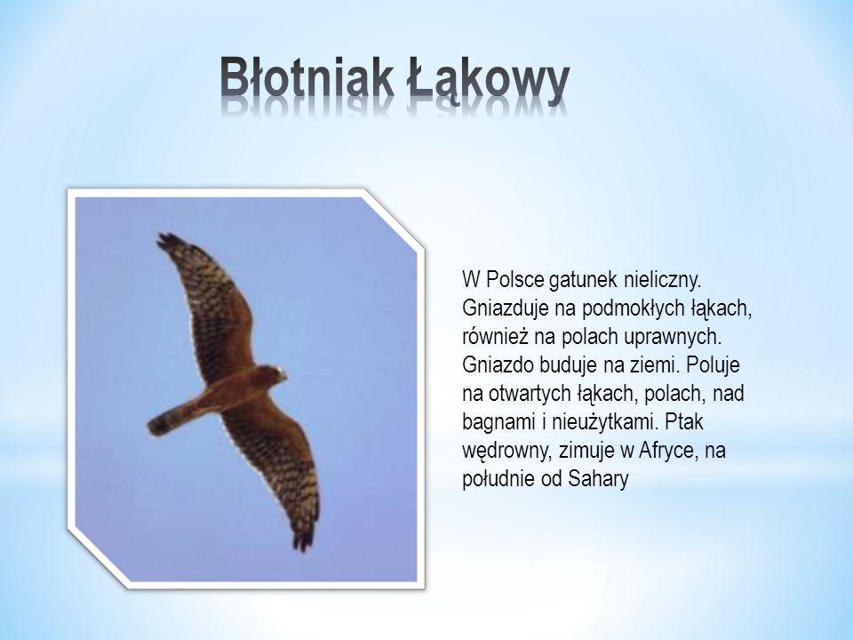 W Polsce gatunek nieliczny.Gniazduje na podmokłych łąkach, również na polach uprawnych.