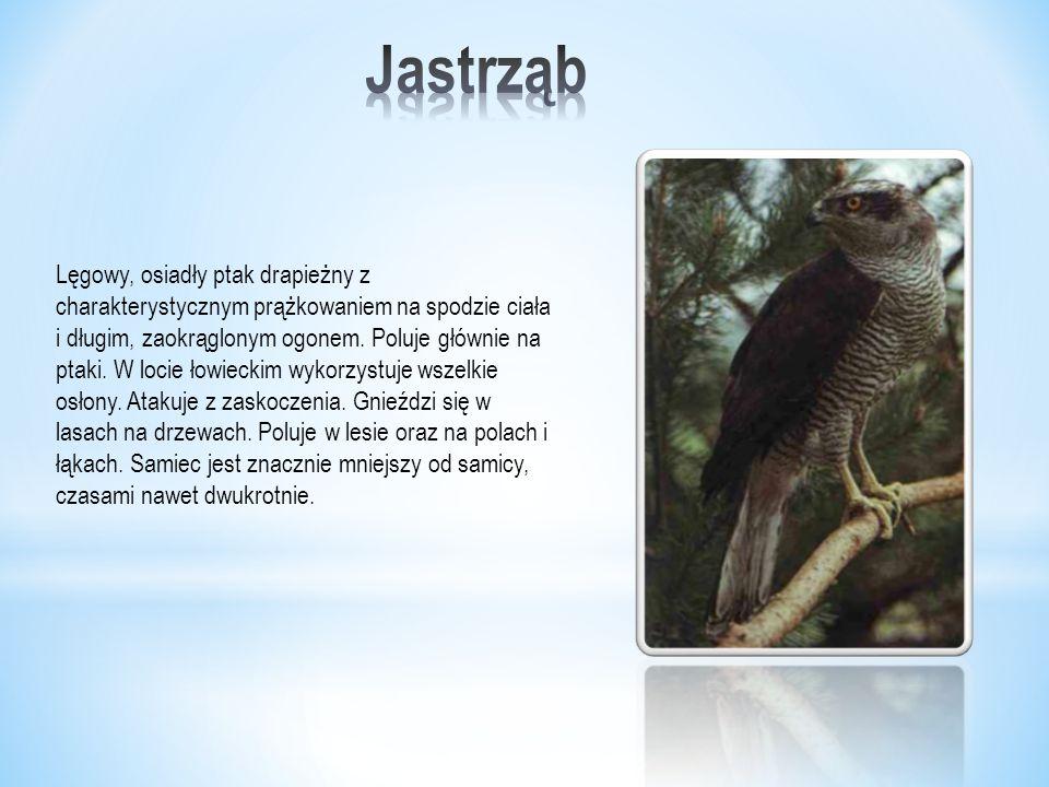 Lęgowy, osiadły ptak drapieżny z charakterystycznym prążkowaniem na spodzie ciała i długim, zaokrąglonym ogonem.