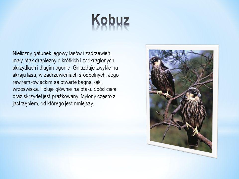 Nieliczny gatunek lęgowy lasów i zadrzewień, mały ptak drapieżny o krótkich i zaokrąglonych skrzydłach i długim ogonie.