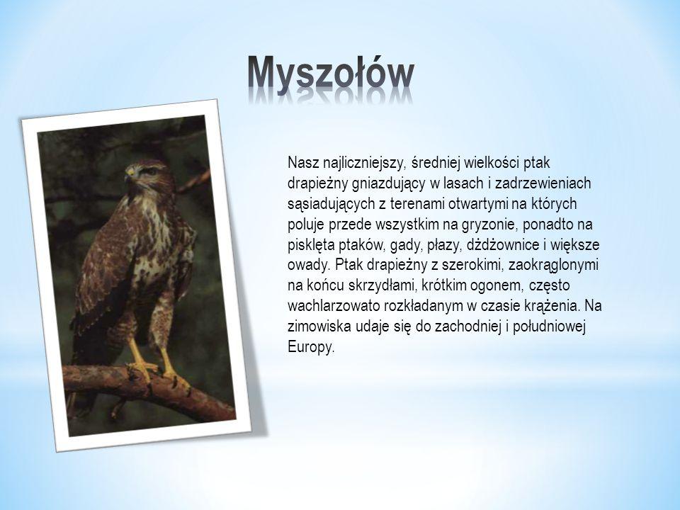 Nasz najliczniejszy, średniej wielkości ptak drapieżny gniazdujący w lasach i zadrzewieniach sąsiadujących z terenami otwartymi na których poluje przede wszystkim na gryzonie, ponadto na pisklęta ptaków, gady, płazy, dżdżownice i większe owady.