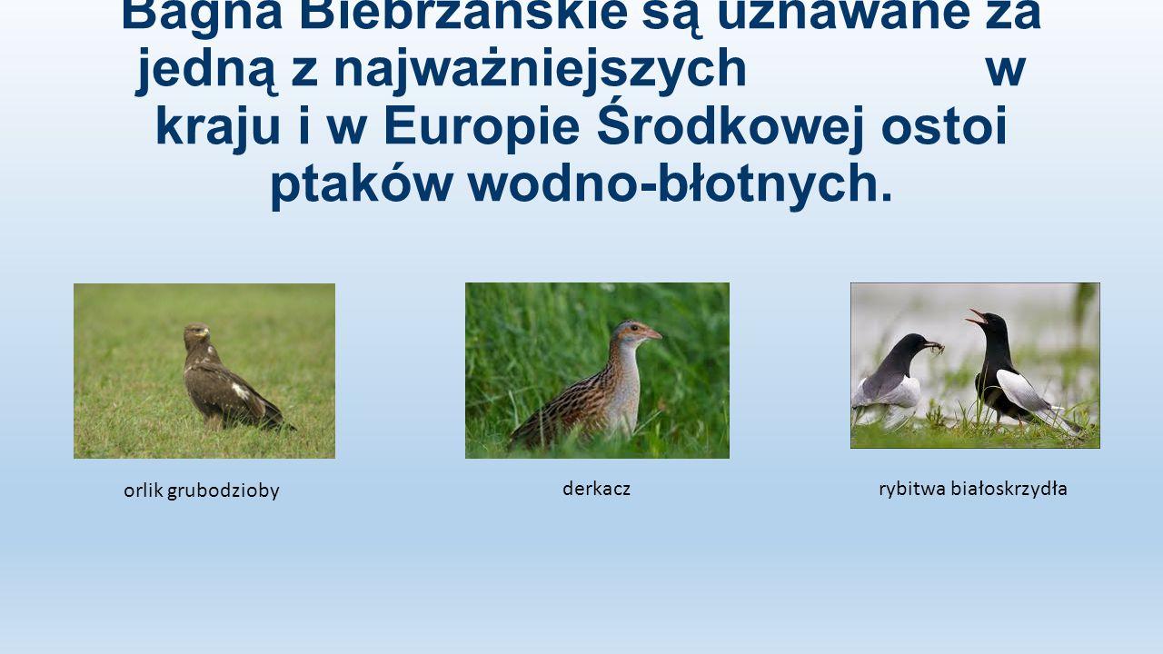 Bagna Biebrzańskie są uznawane za jedną z najważniejszych w kraju i w Europie Środkowej ostoi ptaków wodno-błotnych. orlik grubodzioby derkaczrybitwa