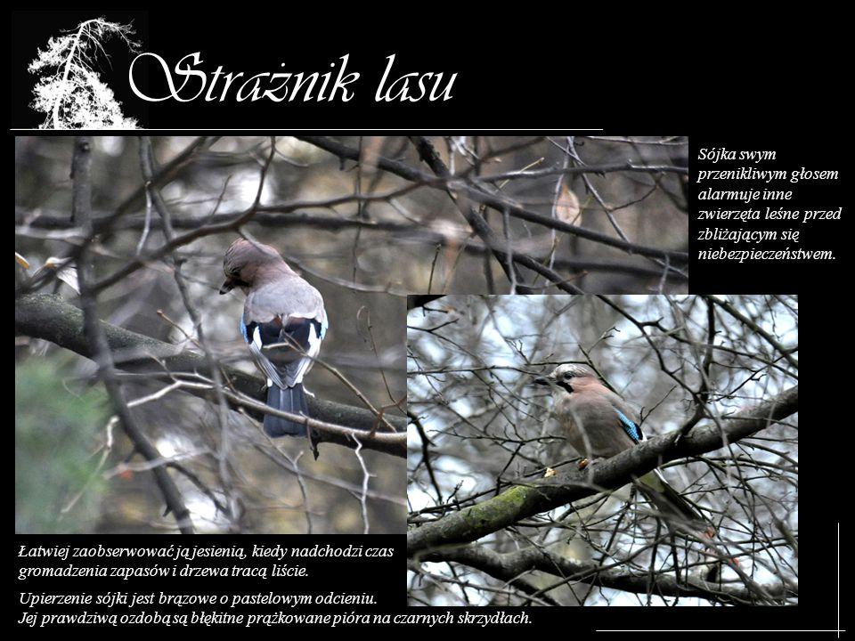 Straznik lasu Upierzenie sójki jest brązowe o pastelowym odcieniu. Jej prawdziwą ozdobą są błękitne prążkowane pióra na czarnych skrzydłach. Sójka swy