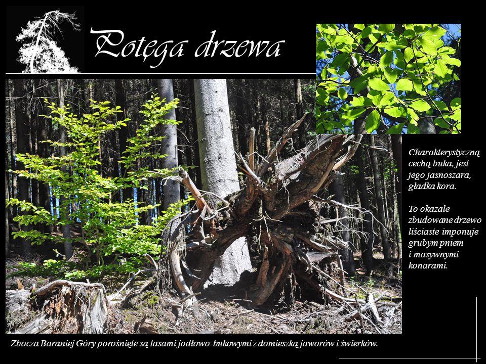 Potega drzewa Zbocza Baraniej Góry porośnięte są lasami jodłowo-bukowymi z domieszką jaworów i świerków. Charakterystyczną cechą buka, jest jego jasno