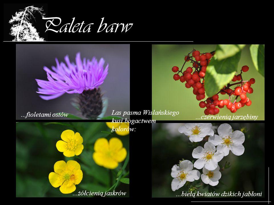Paleta barw Las pasma Wislańskiego kusi bogactwem kolorów:...fioletami ostów...żółcienią jaskrów...bielą kwiatów dzikich jabłoni...czerwienią jarzębin