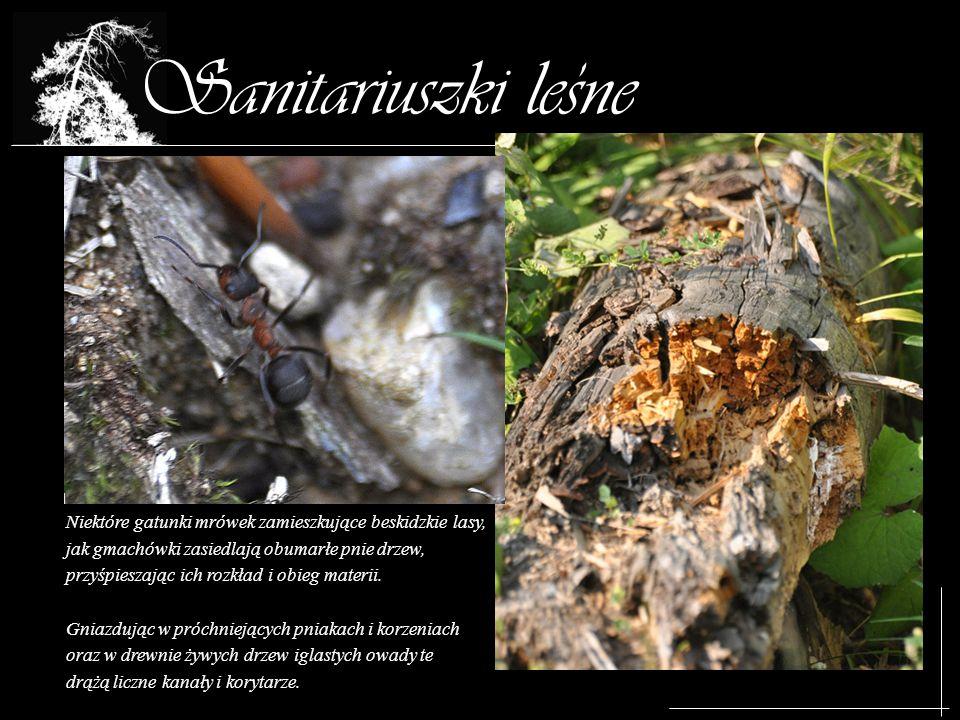 Sanitariuszki lesne Niektóre gatunki mrówek zamieszkujące beskidzkie lasy, jak gmachówki zasiedlają obumarłe pnie drzew, przyśpieszając ich rozkład i