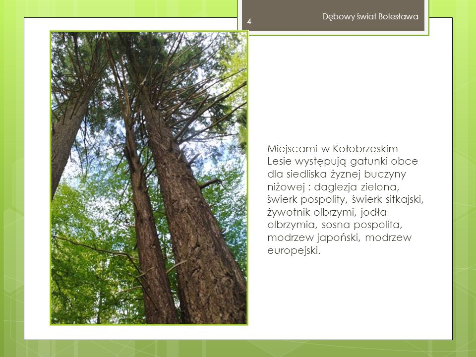 Miejscami w Kołobrzeskim Lesie występują gatunki obce dla siedliska żyznej buczyny niżowej : daglezja zielona, świerk pospolity, świerk sitkajski, żywotnik olbrzymi, jodła olbrzymia, sosna pospolita, modrzew japoński, modrzew europejski.