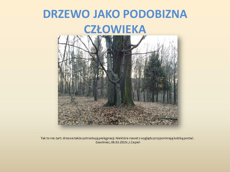 DRZEWO JAKO PODOBIZNA CZŁOWIEKA Tak to nie żart: drzewa także potrzebują pielęgnacji. Niektóre nawet z wyglądu przypominają ludzką postać. Gawliniec,