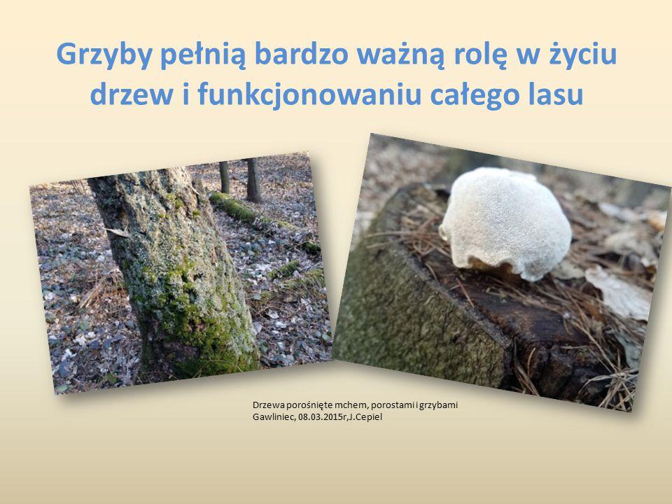 Grzyby pełnią bardzo ważną rolę w życiu drzew i funkcjonowaniu całego lasu Drzewa porośnięte mchem, porostami i grzybami Gawliniec, 08.03.2015r,J.Cepi