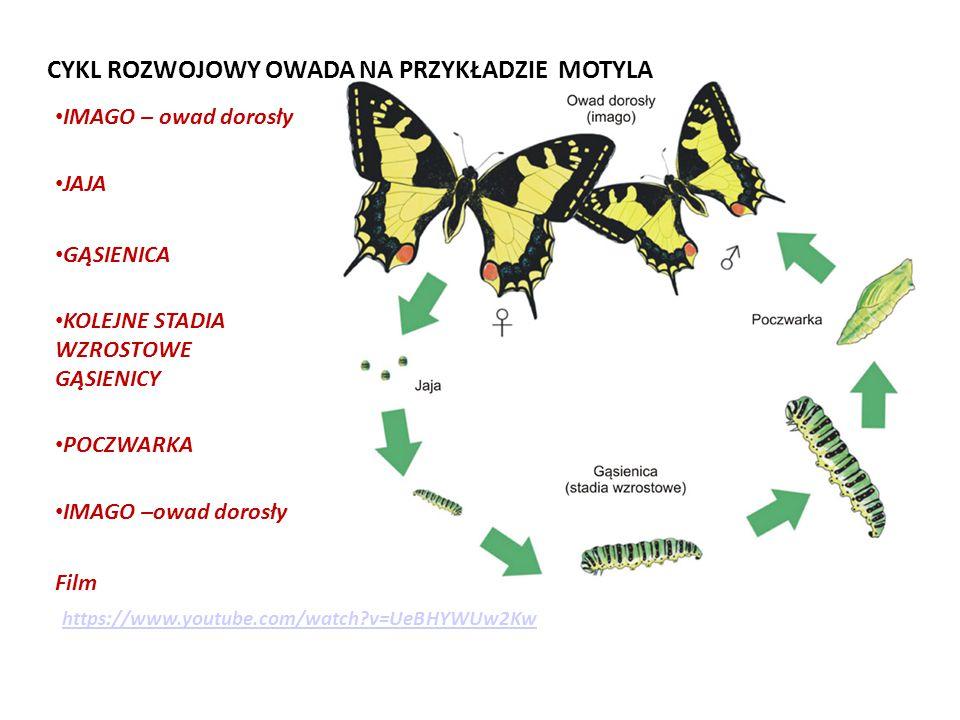 IMAGO – owad dorosły JAJA GĄSIENICA KOLEJNE STADIA WZROSTOWE GĄSIENICY POCZWARKA IMAGO –owad dorosły Film CYKL ROZWOJOWY OWADA NA PRZYKŁADZIE MOTYLA https://www.youtube.com/watch?v=UeBHYWUw2Kw