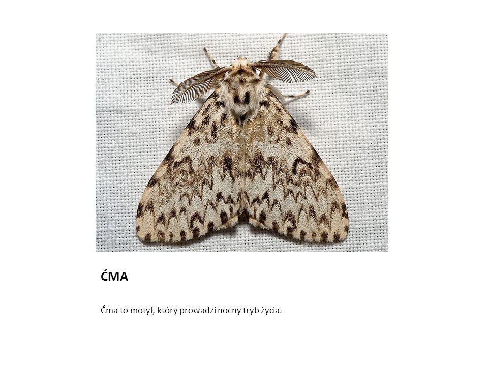 ĆMA Ćma to motyl, który prowadzi nocny tryb życia.
