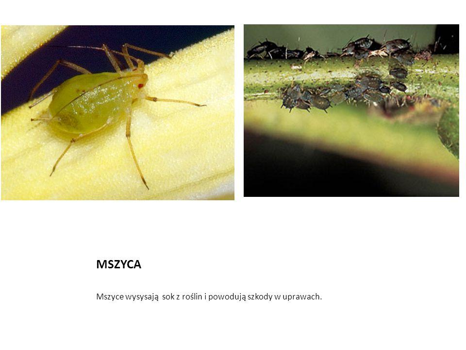 MSZYCA Mszyce wysysają sok z roślin i powodują szkody w uprawach.