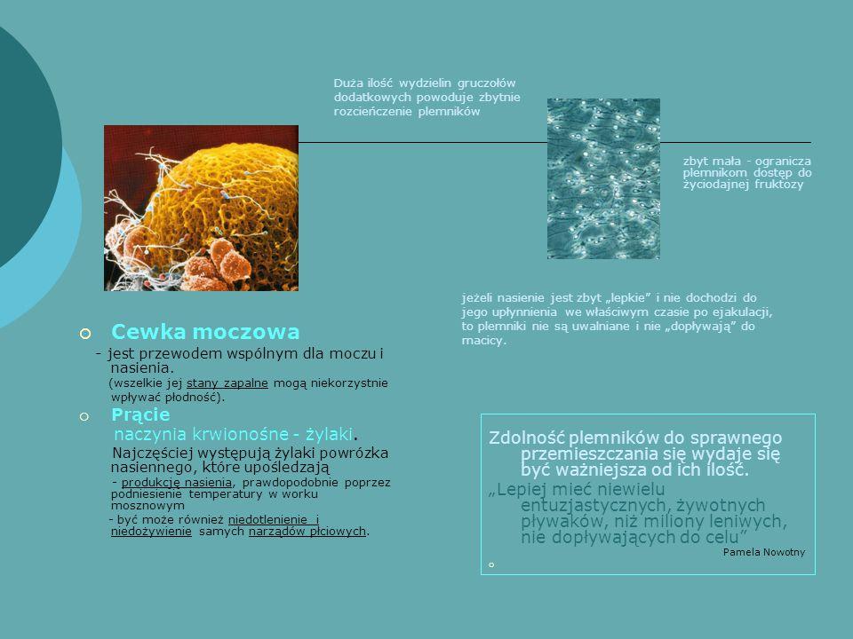  Cewka moczowa - jest przewodem wspólnym dla moczu i nasienia.