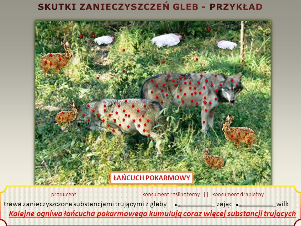 ŁAŃCUCH POKARMOWY producent konsument roślinożerny || konsument drapieżny trawa zanieczyszczona substancjami trującymi z gleby zając wilk Kolejne ogniwa łańcucha pokarmowego kumulują coraz więcej substancji trujących