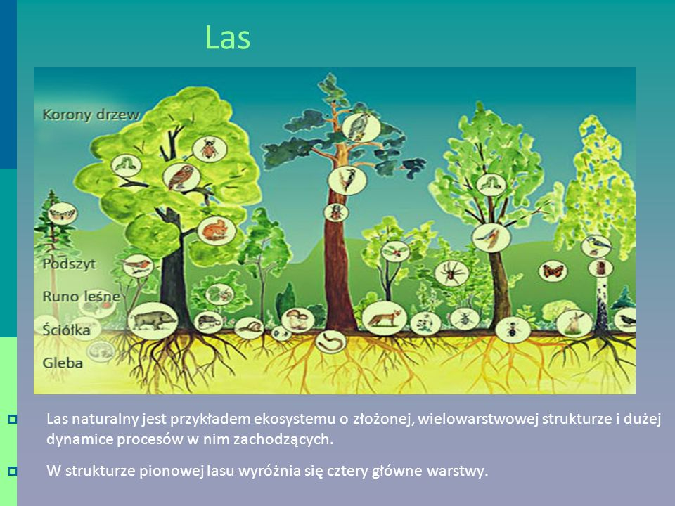 Las  Las naturalny jest przykładem ekosystemu o złożonej, wielowarstwowej strukturze i dużej dynamice procesów w nim zachodzących.