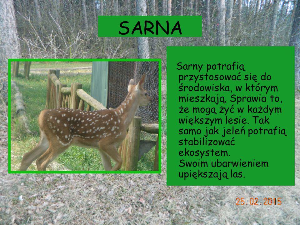 SARNA Sarny potrafią przystosować się do środowiska, w którym mieszkają. Sprawia to, że mogą żyć w każdym większym lesie. Tak samo jak jeleń potrafią