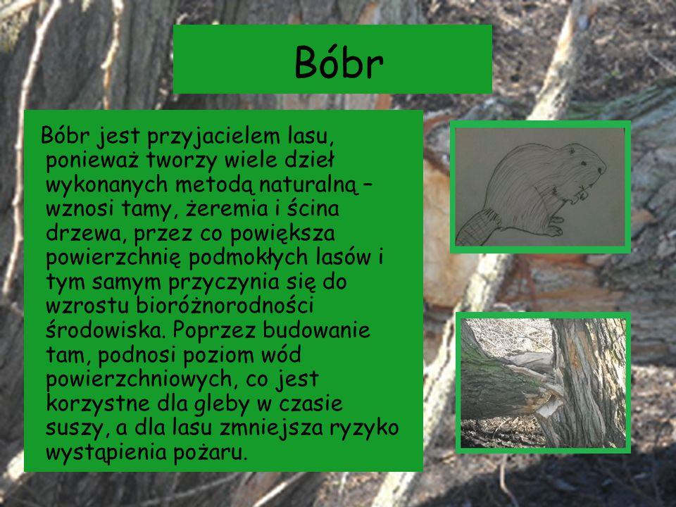 Bóbr Bóbr jest przyjacielem lasu, ponieważ tworzy wiele dzieł wykonanych metodą naturalną – wznosi tamy, żeremia i ścina drzewa, przez co powiększa po