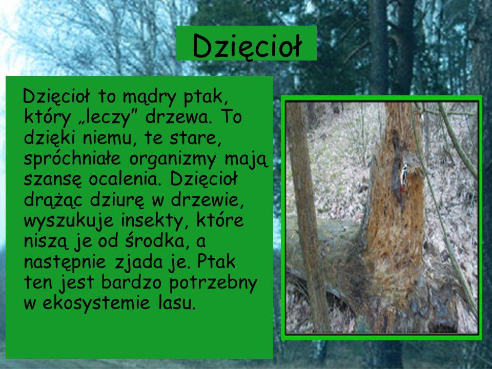 """Dzięcioł Dzięcioł to mądry ptak, który """"leczy"""" drzewa. To dzięki niemu, te stare, spróchniałe organizmy mają szansę ocalenia. Dzięcioł drążąc dziurę w"""