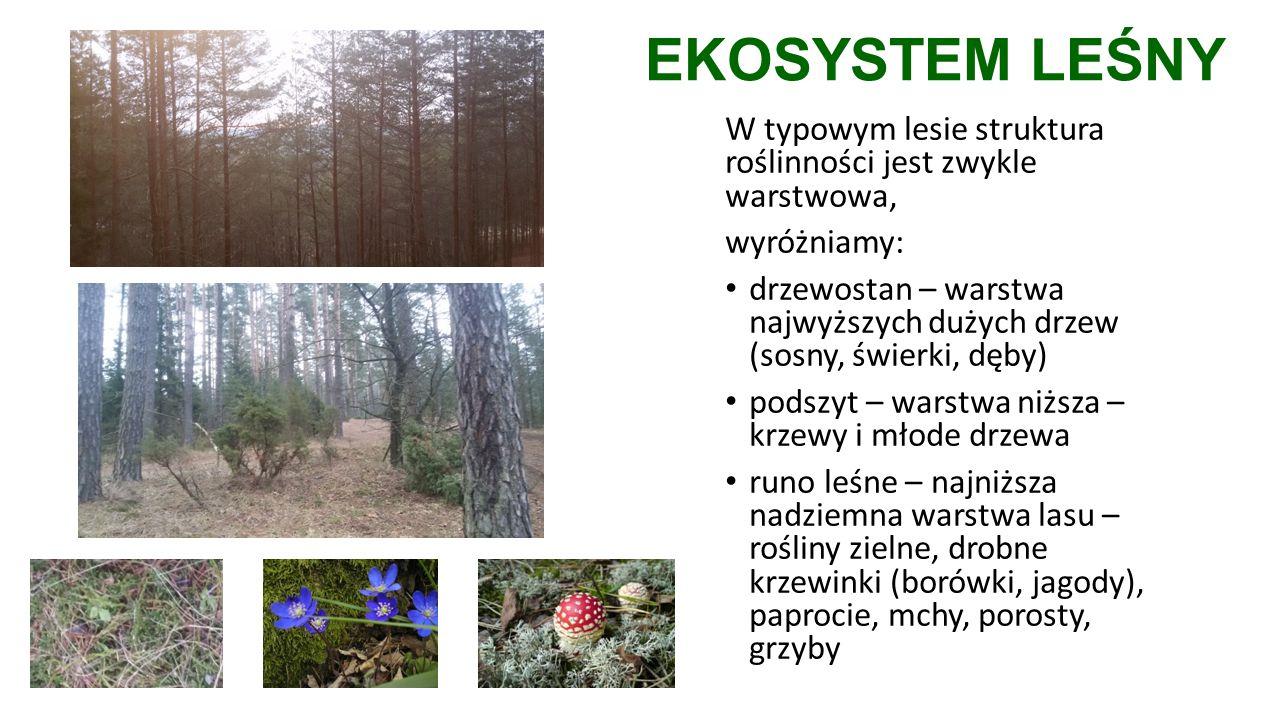 EKOSYSTEM LEŚNY W typowym lesie struktura roślinności jest zwykle warstwowa, wyróżniamy: drzewostan – warstwa najwyższych dużych drzew (sosny, świerki, dęby) podszyt – warstwa niższa – krzewy i młode drzewa runo leśne – najniższa nadziemna warstwa lasu – rośliny zielne, drobne krzewinki (borówki, jagody), paprocie, mchy, porosty, grzyby