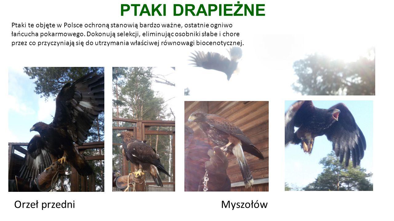 PTAKI DRAPIEŻNE Orzeł przedniMyszołów Ptaki te objęte w Polsce ochroną stanowią bardzo ważne, ostatnie ogniwo łańcucha pokarmowego.