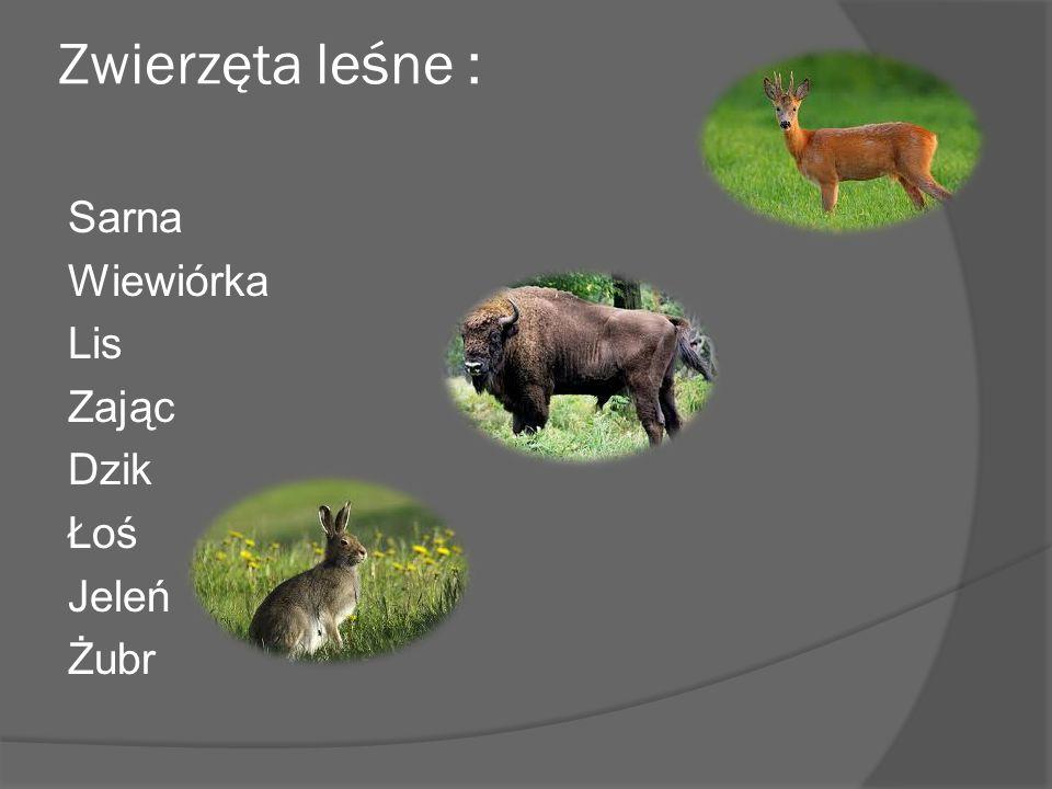 Zwierzęta leśne : Sarna Wiewiórka Lis Zając Dzik Łoś Jeleń Żubr