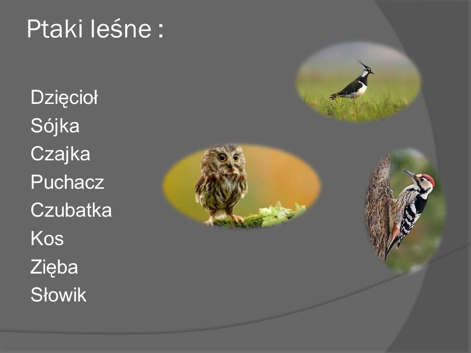 Ptaki leśne : Dzięcioł Sójka Czajka Puchacz Czubatka Kos Zięba Słowik