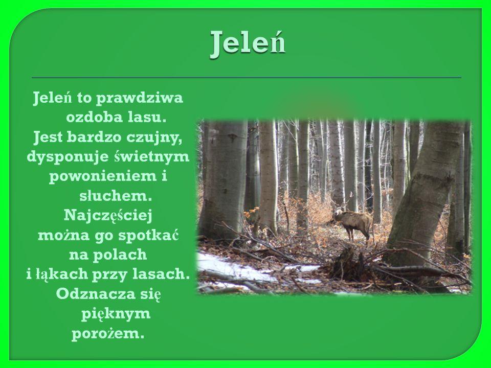  Ł apa Nied ź wiedzia Nied ź wied ź jest królem bieszczadzkich lasów w Polsce.