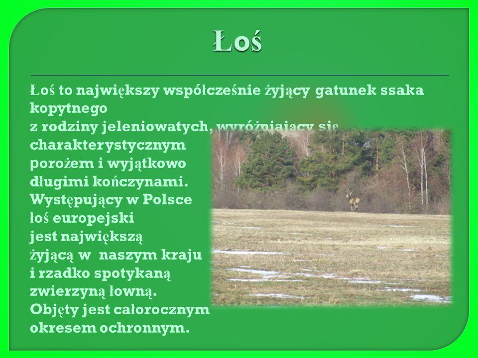 Jele ń to prawdziwa ozdoba lasu. Jest bardzo czujny, dysponuje ś wietnym powonieniem i s ł uchem.
