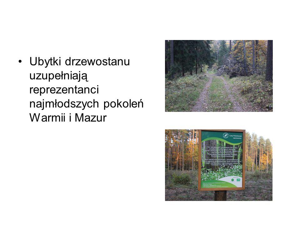 Ubytki drzewostanu uzupełniają reprezentanci najmłodszych pokoleń Warmii i Mazur