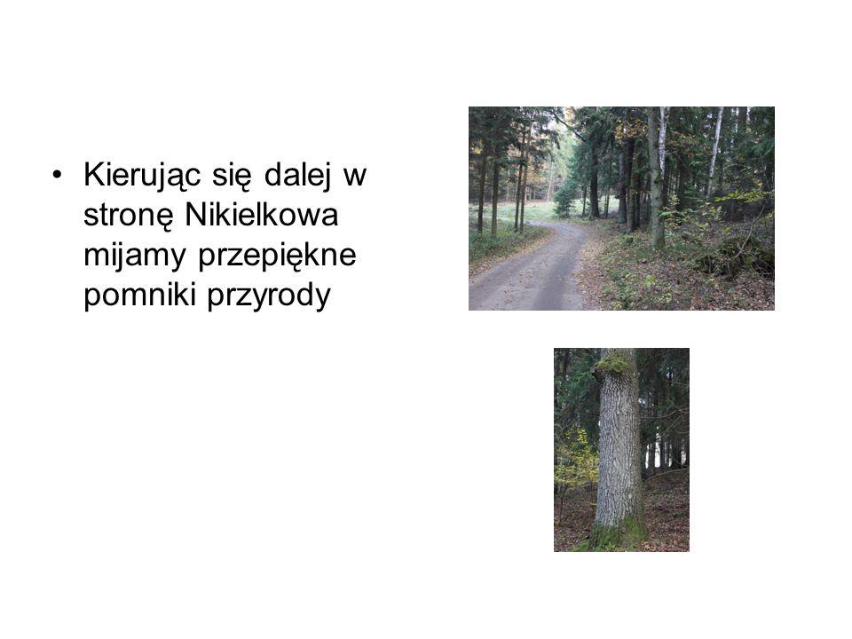Kierując się dalej w stronę Nikielkowa mijamy przepiękne pomniki przyrody