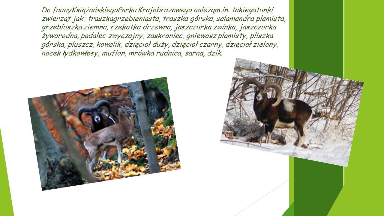 Do faunyKsiążańskiegoParku Krajobrazowego należąm.in. takiegatunki zwierząt jak: traszkagrzebieniasta, traszka górska, salamandra plamista, grzebiuszk