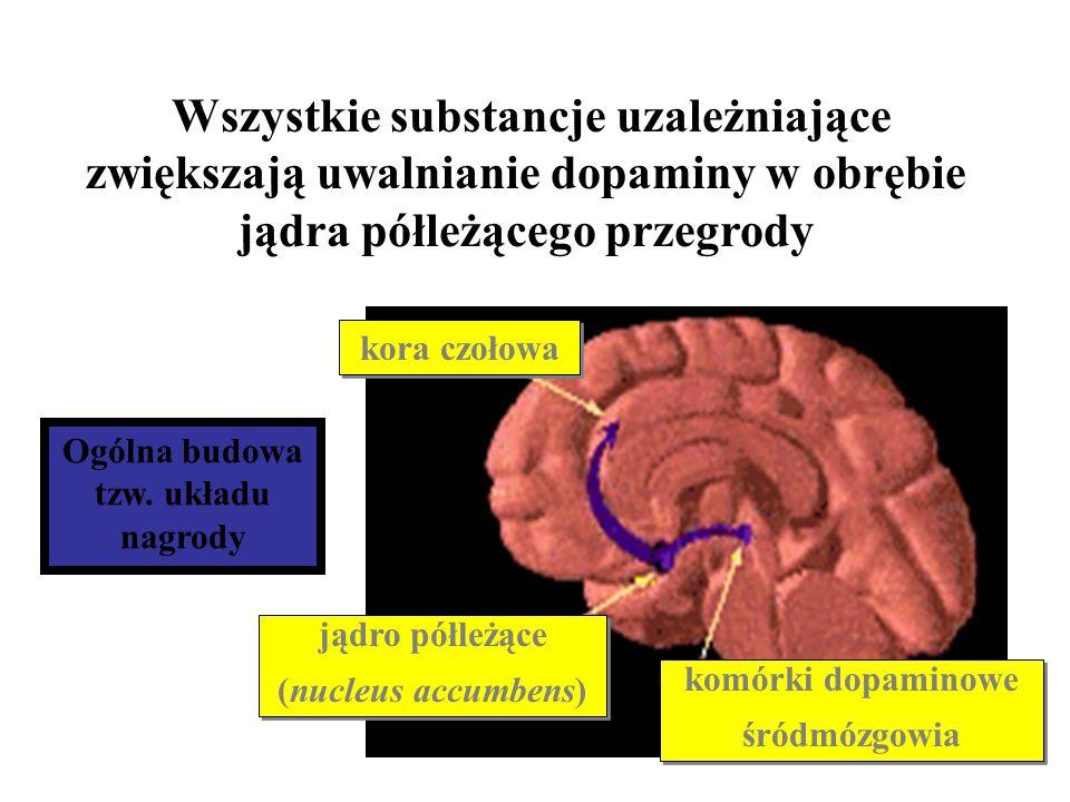 kora czołowa komórki dopaminowe śródmózgowia komórki dopaminowe śródmózgowia jądro półleżące (nucleus accumbens) jądro półleżące (nucleus accumbens) W