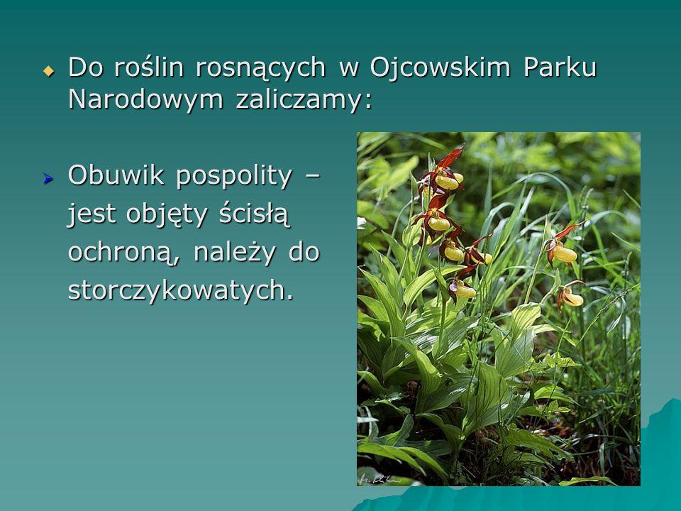  Do roślin rosnących w Ojcowskim Parku Narodowym zaliczamy:  Obuwik pospolity – jest objęty ścisłą ochroną, należy do storczykowatych.