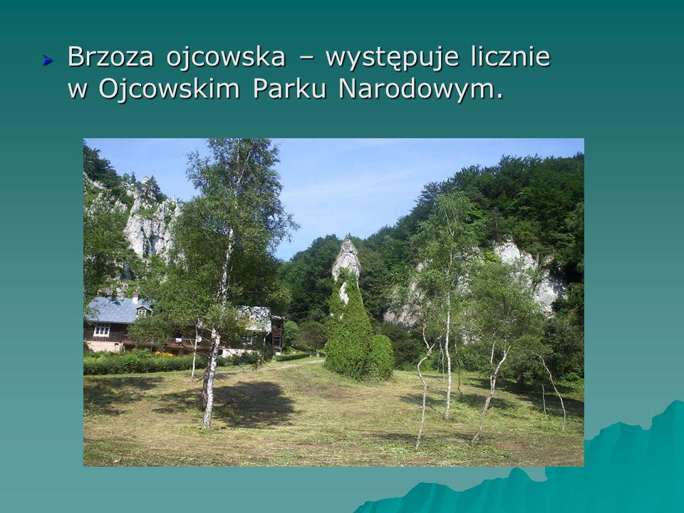  Brzoza ojcowska – występuje licznie w Ojcowskim Parku Narodowym.
