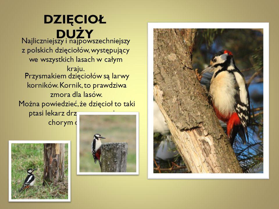 Najliczniejszy i najpowszechniejszy z polskich dzięciołów, występujący we wszystkich lasach w całym kraju. Przysmakiem dzięciołów są larwy korników. K