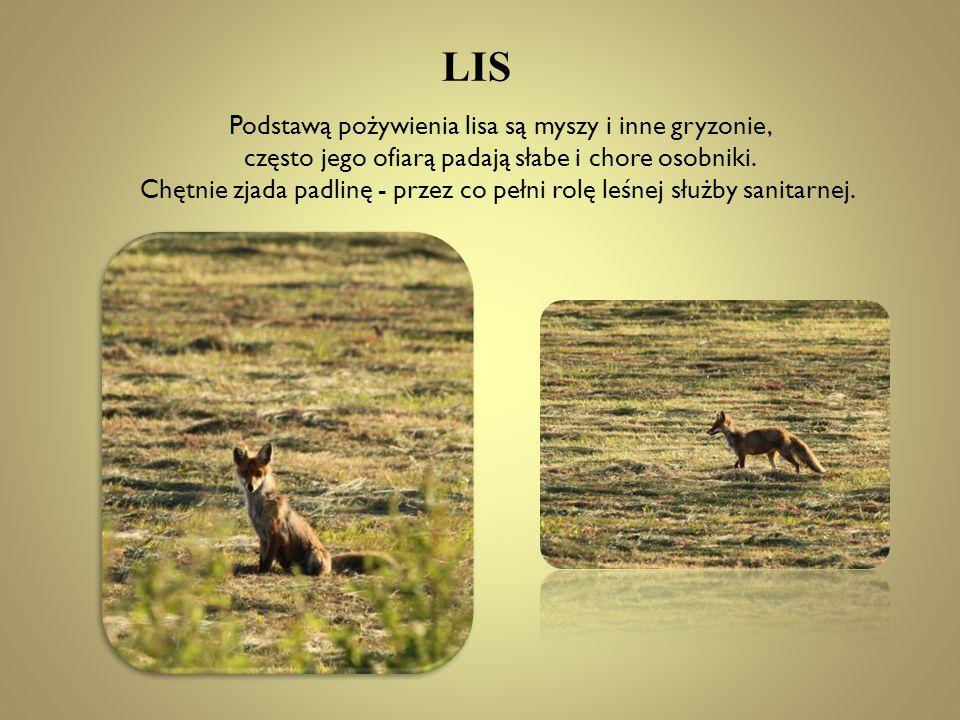 LIS Podstawą pożywienia lisa są myszy i inne gryzonie, często jego ofiarą padają słabe i chore osobniki. Chętnie zjada padlinę - przez co pełni rolę l