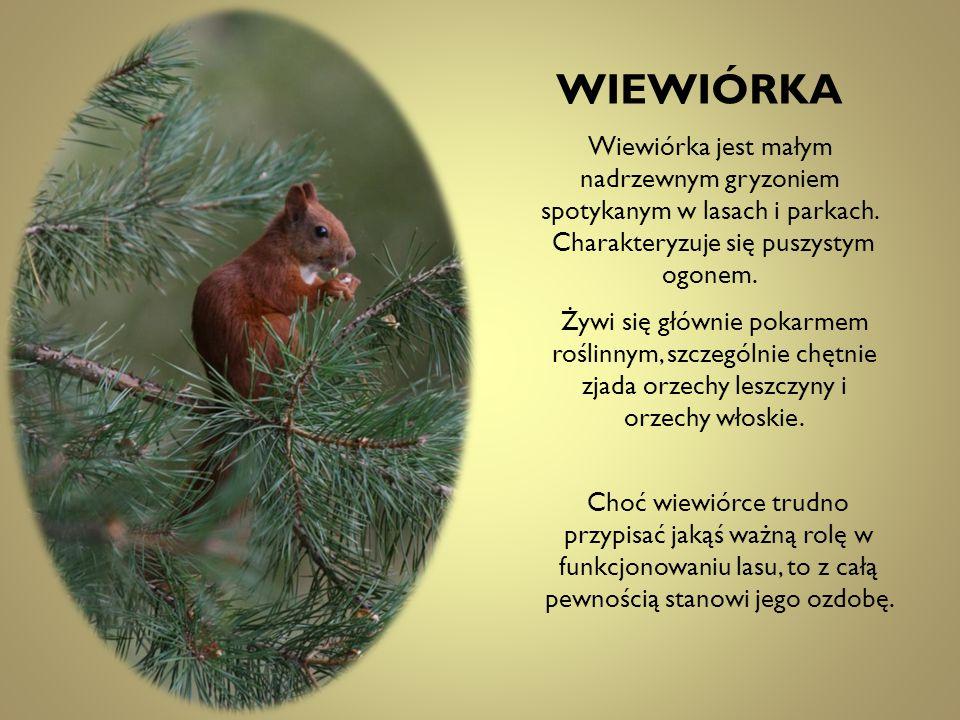 Wiewiórka jest małym nadrzewnym gryzoniem spotykanym w lasach i parkach. Charakteryzuje się puszystym ogonem. Żywi się głównie pokarmem roślinnym, szc