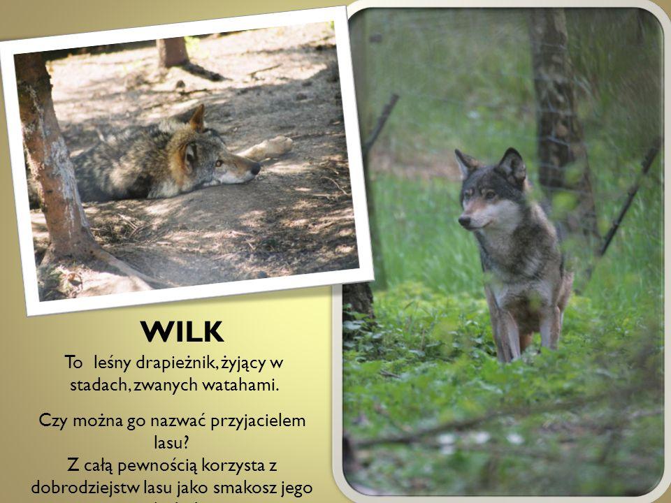 WILK To leśny drapieżnik, żyjący w stadach, zwanych watahami. Czy można go nazwać przyjacielem lasu? Z całą pewnością korzysta z dobrodziejstw lasu ja