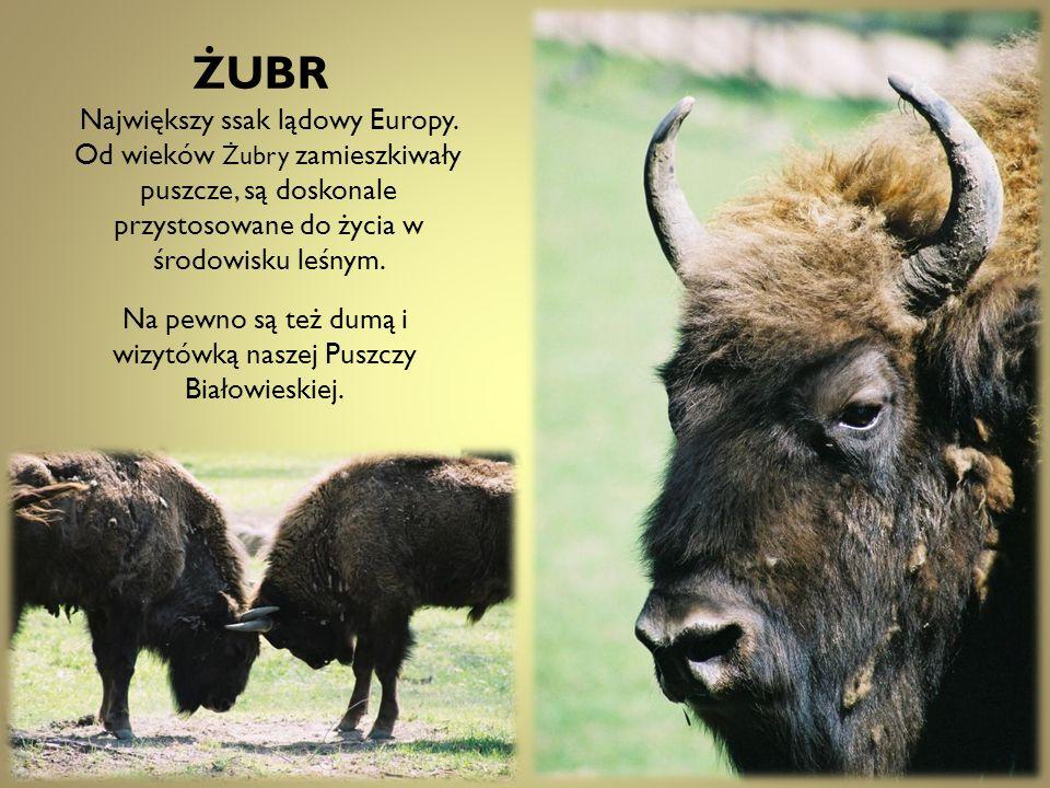 ŻUBR Największy ssak lądowy Europy. Od wieków Żubry zamieszkiwały puszcze, są doskonale przystosowane do życia w środowisku leśnym. Na pewno są też du