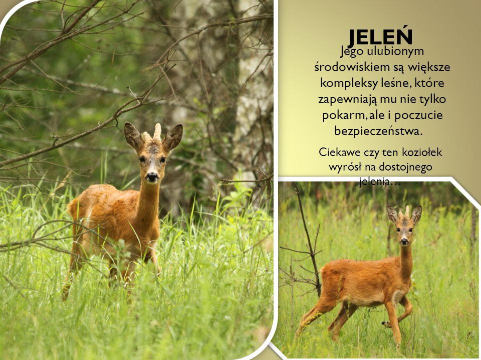 JELEŃ Jego ulubionym środowiskiem są większe kompleksy leśne, które zapewniają mu nie tylko pokarm, ale i poczucie bezpieczeństwa. Ciekawe czy ten koz