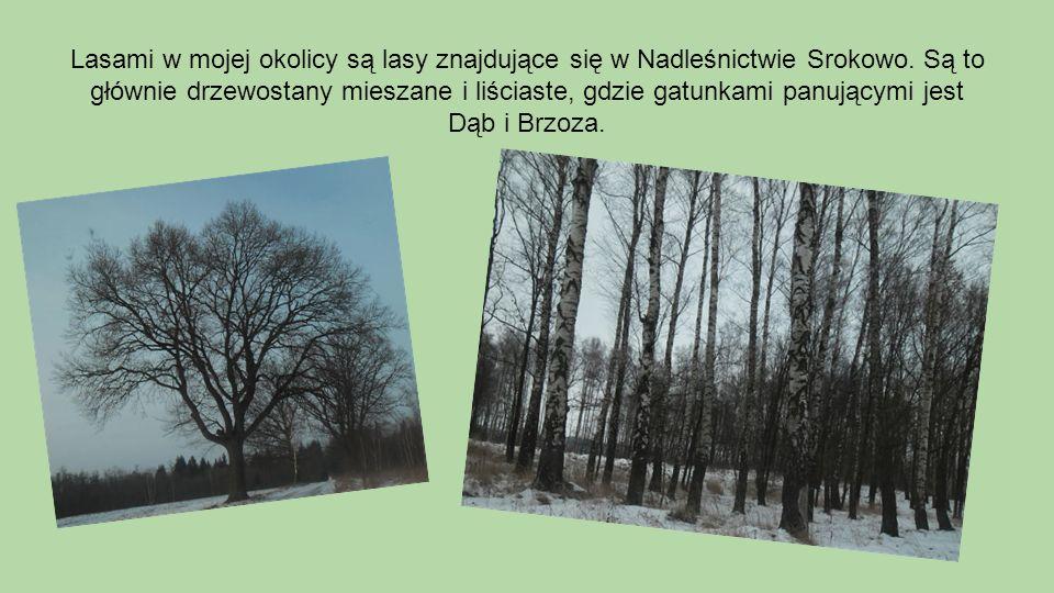 Lasami w mojej okolicy są lasy znajdujące się w Nadleśnictwie Srokowo. Są to głównie drzewostany mieszane i liściaste, gdzie gatunkami panującymi jest