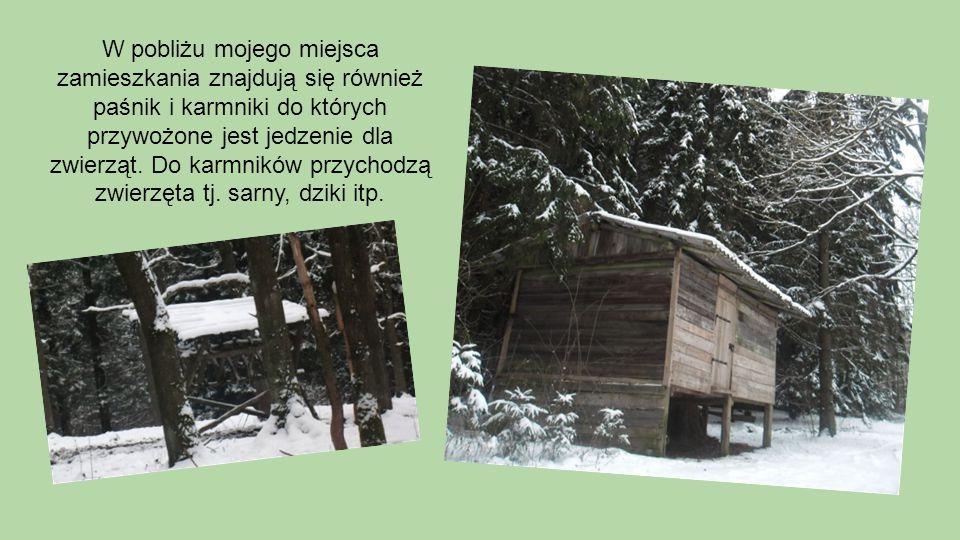 W pobliżu mojego miejsca zamieszkania znajdują się również paśnik i karmniki do których przywożone jest jedzenie dla zwierząt. Do karmników przychodzą