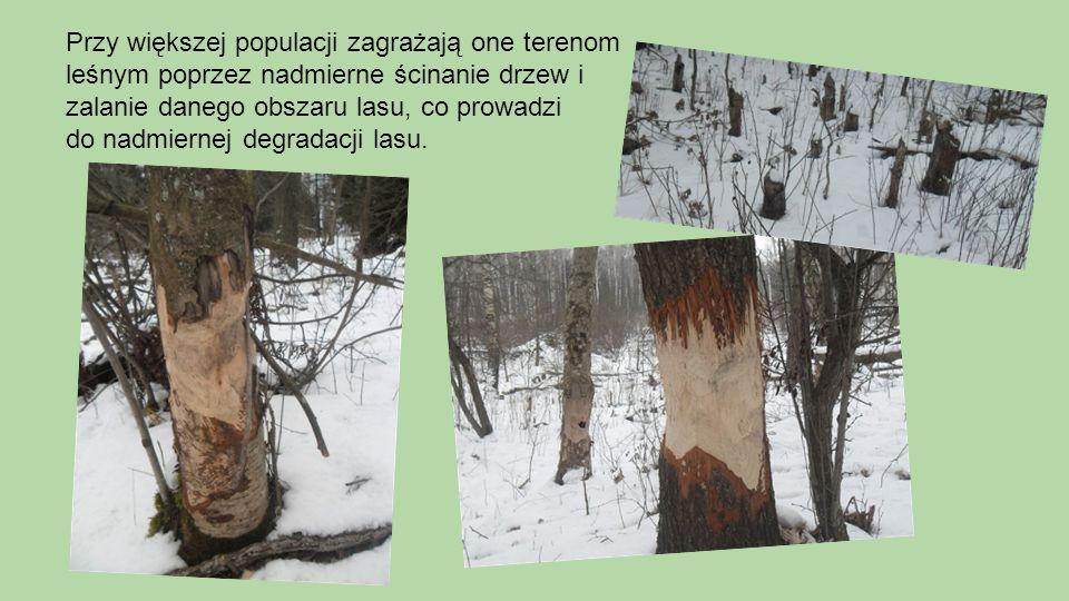 Przy większej populacji zagrażają one terenom leśnym poprzez nadmierne ścinanie drzew i zalanie danego obszaru lasu, co prowadzi do nadmiernej degrada
