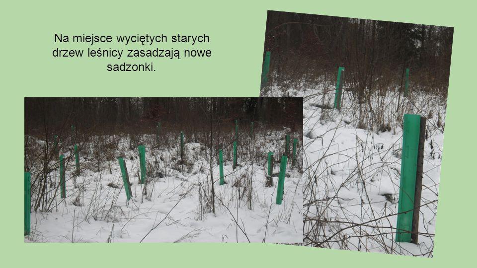 Na miejsce wyciętych starych drzew leśnicy zasadzają nowe sadzonki.