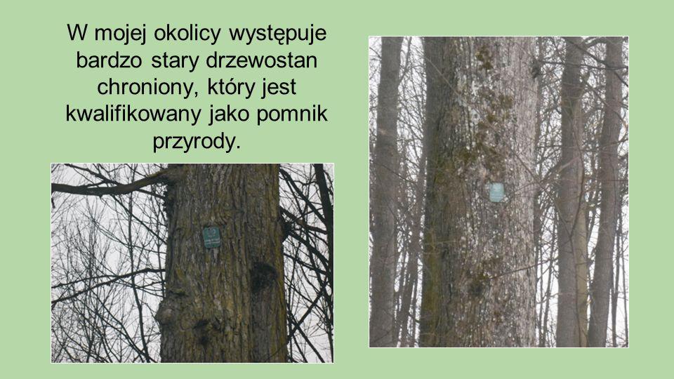 W mojej okolicy występuje bardzo stary drzewostan chroniony, który jest kwalifikowany jako pomnik przyrody.