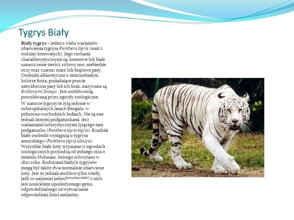 Tygrys Biały Biały tygrys – jeden z wielu wariantów ubarwienia tygrysa Panthera tigris (ssak z rodziny kotowatych).