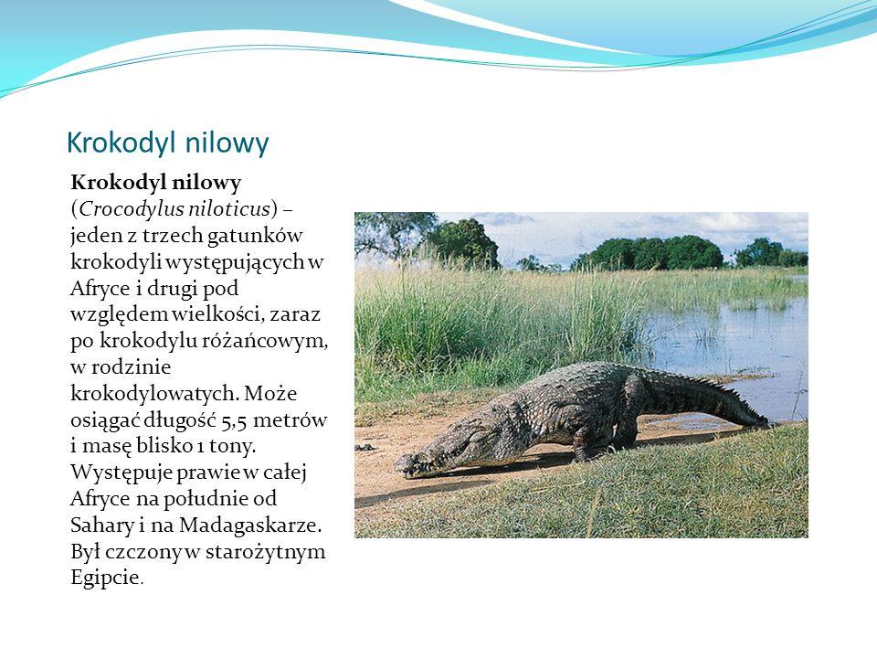 Krokodyl nilowy Krokodyl nilowy (Crocodylus niloticus) – jeden z trzech gatunków krokodyli występujących w Afryce i drugi pod względem wielkości, zaraz po krokodylu różańcowym, w rodzinie krokodylowatych.
