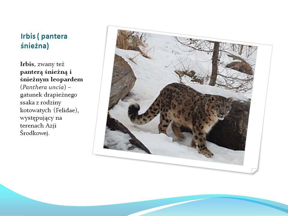 Irbis ( pantera śnieżna) Irbis, zwany też panterą śnieżną i śnieżnym leopardem (Panthera uncia) – gatunek drapieżnego ssaka z rodziny kotowatych (Felidae), występujący na terenach Azji Środkowej.