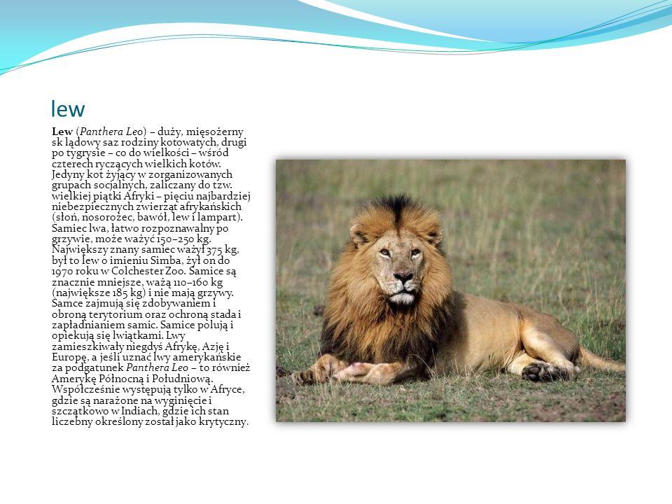 lew Lew (Panthera Leo) – duży, mięsożerny sk lądowy saz rodziny kotowatych, drugi po tygrysie – co do wielkości – wśród czterech ryczących wielkich kotów.